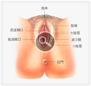 女性生殖系统 女性阴道口位置图片